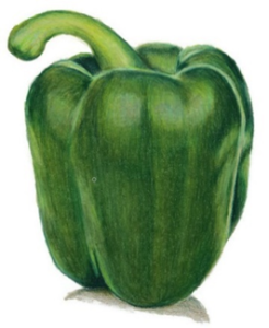A green capsicum completed in Caran d'Ache Luminance by Louise, Artnitso.com. Capsicum image from Arttutor.com lesson.