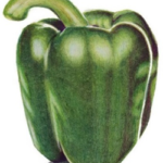 A green capsicum completed in Prismacolor Premier. Capsicum from Arttutor.com lesson.
