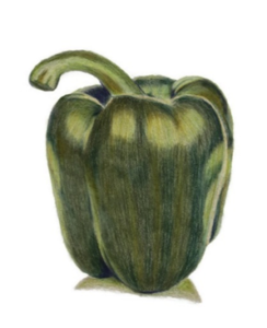 A green capsicum completed in Faber Castell Polychromos by Louise, Artnitso.com. Polychromos is an oil-based pencil. Capsicum image from Arttutor.com lesson.